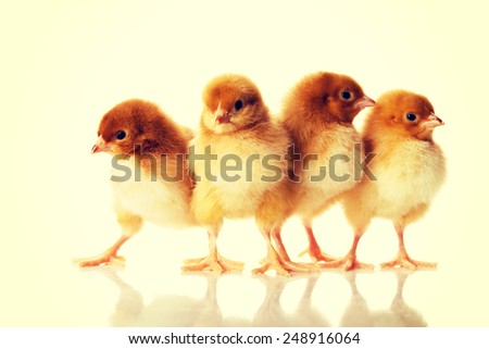 Group of small Easter chicken.  - stock photo