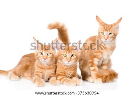 Group of small ginger maine coon cats lying in front view. isolated on white background