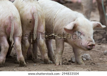 Group of small pink pigs wallowing in the mud at an outdoor live animal market in Otavalo, Ecuador - stock photo