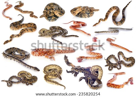 group of snakes in front of white background - stock photo