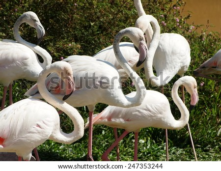 group of soft pink color africans bird flamingos standing on green grass floor near a pond on a warm weather day in summer in a zoo in THAILAND - stock photo