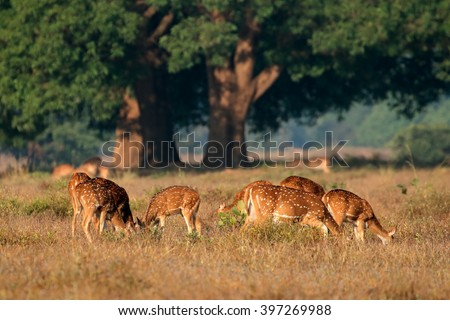 Group of spotted deer or chital (Axis axis) in natural habitat, Kanha National Park, India - stock photo