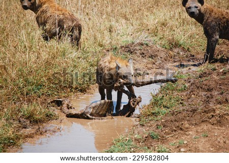 Group of spotted hyenas feeding on a zebra carcass in Serengeti National Park, Africa - stock photo
