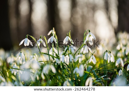 Group of spring snowdrops flowering in the woods - stock photo