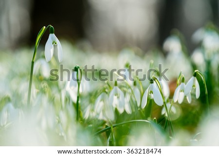 Group of spring snowdrops flowering in the woods
