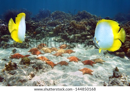 Group of starfish underwater near a coral reef with two butterflyfish in foreground, Atlantic ocean, Bahamas - stock photo