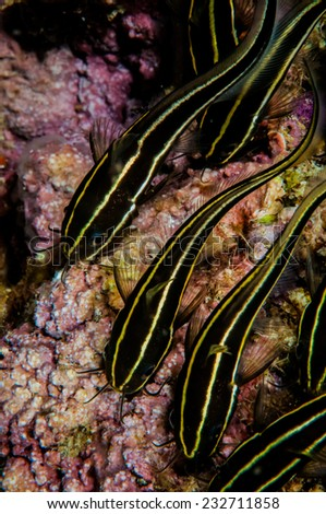 Group of striped catfish in Banda, Indonesia underwater photo. Plotosus lineatus body is brown with cream-colored or white longitudinal bands. - stock photo