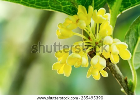 Group of Sweet osmanthus flowers blossom in the park, close up - stock photo