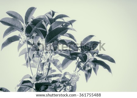 Group of Sweet osmanthus or Sweet olive flowers blossom on its tree - color filter effect style pictures - stock photo