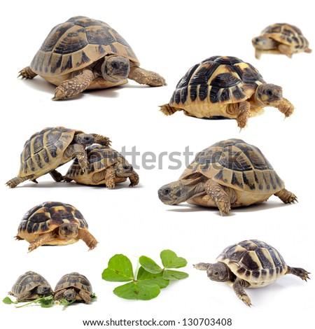 group of  Testudo hermanni tortoises on a white isolated background - stock photo