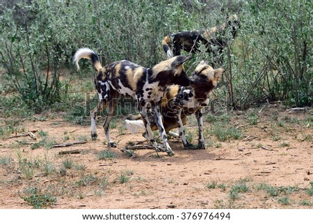 Group of the African Wild Dog in bush, Namibia - stock photo