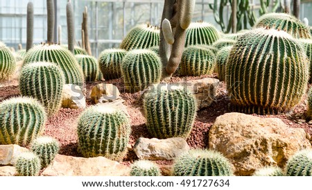 Group of the Giant Beautiful Cactus