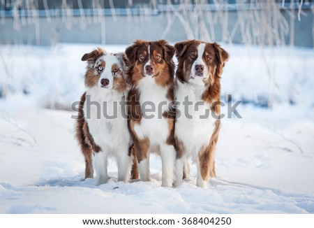 Group of three australian shepherd dogs in winter - stock photo