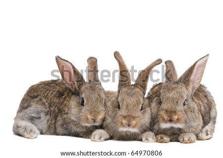 group of three baby light brown rabbits with long ears isolated on white