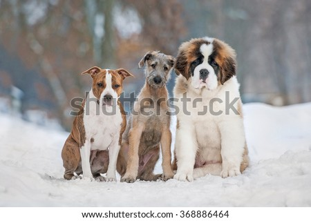 Group of three funny puppies in winter - stock photo