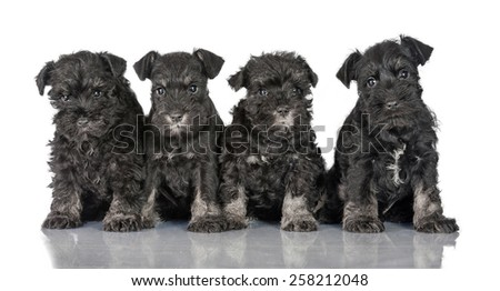 Group of three miniature schnauzer puppies - stock photo