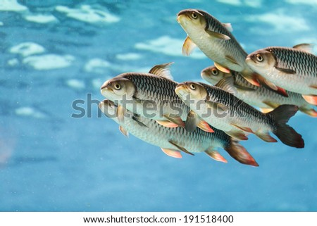 group of tiger fish - stock photo