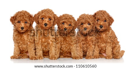 Group of Toy Poodle puppies on a white background - stock photo