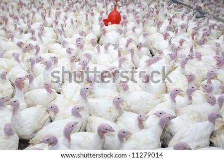 group of turkeys at farm - stock photo