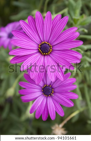 group of two beautiful bright purple daisy flowers on green grass background. Macro close up photo. - stock photo