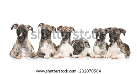 Group of Whippet puppies lying in front of white background - stock photo