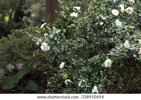 Group of White Camellia blooming (Camellia japonica) - stock photo