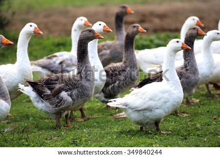 Group of white domestic geese on the poultry farm - stock photo