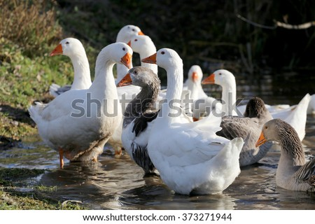 Group of white domestic geese swimming in a small lake on the poultry farm
