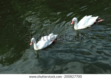 Group of white ducks on the pond at the zoo - stock photo