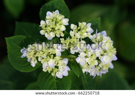 Group of white flowers  with soft focus and blurred green leaf background.