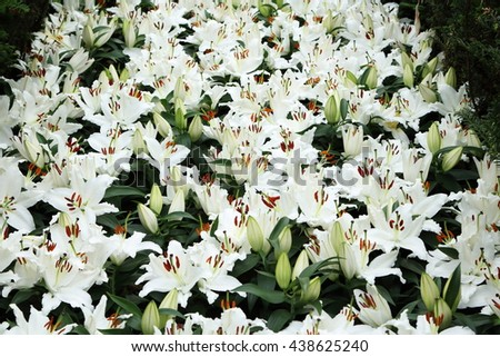 Group of white liliies in full bloom in the field - stock photo