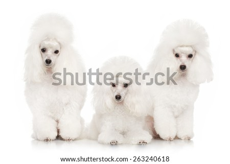 Group of white poodles posing on a white background - stock photo