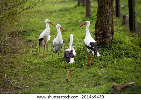 Group of White Stork getting together, standing in a field. - stock photo