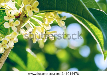 Group of white Sweet osmanthus or Sweet olive flowers blossom on its tree - stock photo