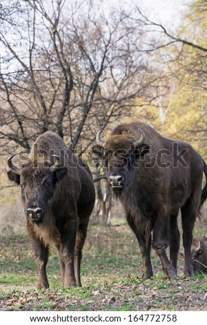 Group of wild European bison or Wisent (Bison bonasus) in autumn deciduous forest. - stock photo