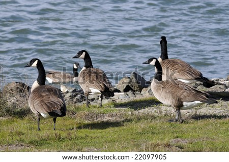 Group of wild geese feeding by San Francisco bay