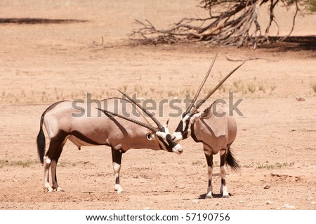 Group of wild Gemsbok (Oryx Gazella) standing in the nature reserve in South Africa