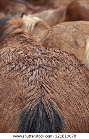 Group of wild horses and closeup of a mare hindquarters. - stock photo