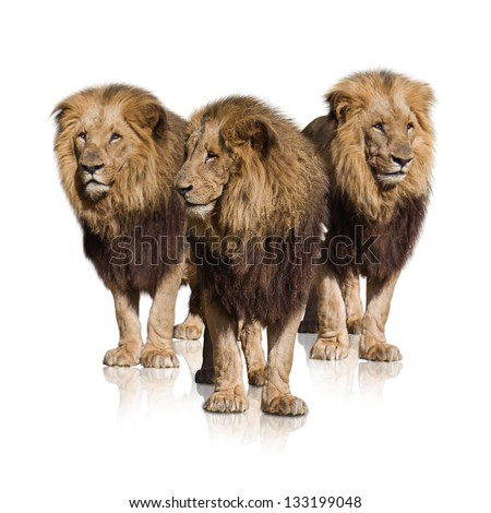 Group Of Wild Lions Isolated On White Background - stock photo