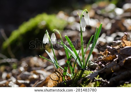 Group of wild snowdrops flowering in the forest - stock photo