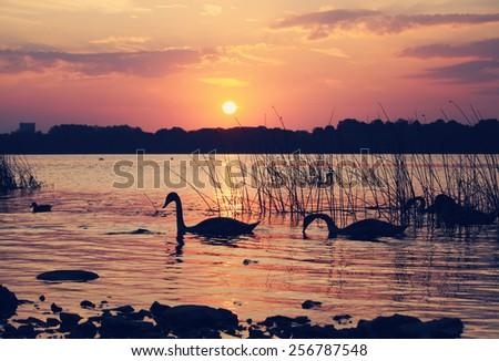 Group of wild swans swimming in a river on a sunset.  - stock photo