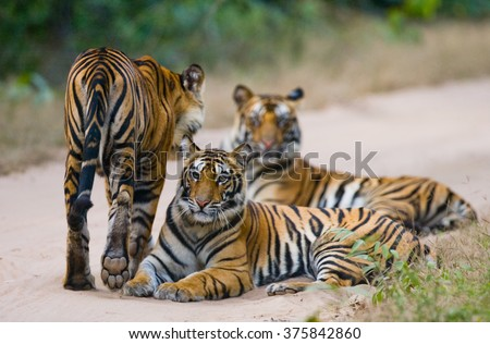 Group of wild tigers on the road. India. Bandhavgarh National Park. Madhya Pradesh. An excellent illustration. - stock photo