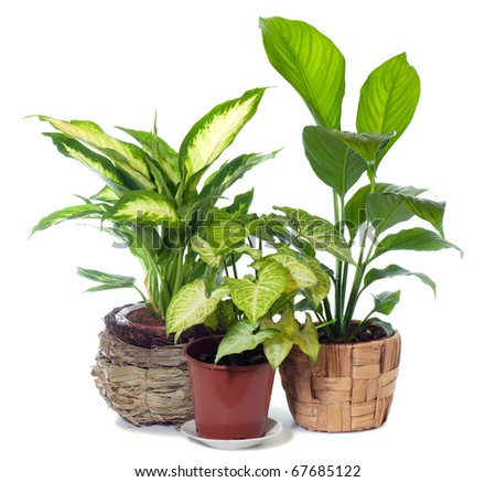 "Group of window plant ""Syngonium podophyllum"",""Spathiphyllum wallisii"" and ""Dieffenbachia picta"" isolated on white background."