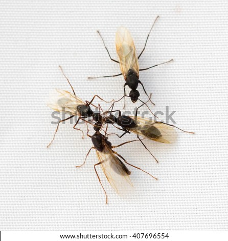 Group of winged Carpenter Ants (Camponotus) on a white background - stock photo