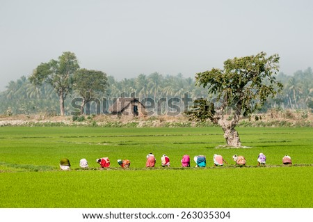 Group of women working manually in a green paddy field in south India.. - stock photo