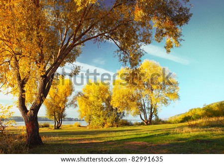 Group of yellow autumn trees standing on a meadow by river - stock photo