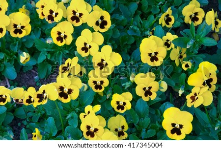 group of yellow flowers in spring time for background