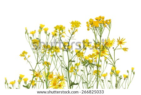 group of yellow flowers isolated on white background