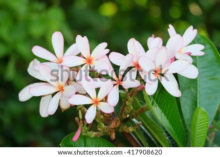 group of yellow white and pink flowers (Frangipani, Plumeria) on a sunny day with blur background in Thailand