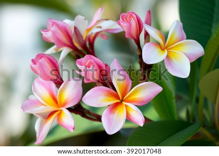 group of yellow white and pink flowers (Frangipani, Plumeria) on a sunny day with natural background in THAILAND - stock photo
